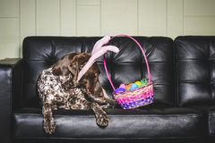 兔宝宝耳朵狗 图库摄影