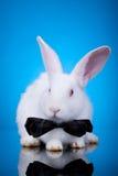 兔宝宝被注视的红色白色 免版税库存照片