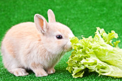 兔宝宝逗人喜爱吃一 免版税库存照片