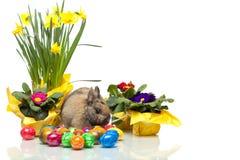 兔宝宝黄水仙复活节彩蛋临近报春花 免版税库存照片