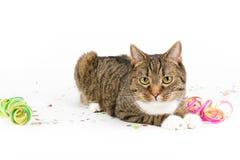 党猫 免版税库存照片