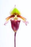 兜兰superbiens (Rchb f ) 免版税库存照片