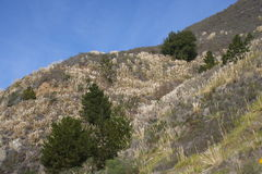 入侵的蒲苇在大瑟尔加利福尼亚 免版税库存照片