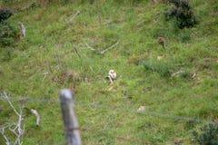 入侵的野生兔子,新西兰农田 免版税库存照片