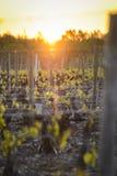 入博若莱红葡萄酒葡萄园在日出期间的,伯根地,法国 免版税库存照片
