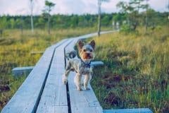 全国沼泽公园在有约克狗的拉脱维亚 免版税库存照片