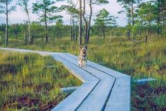 全国沼泽公园在有约克狗的拉脱维亚 图库摄影