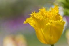 全国黄色荷兰郁金香宏观射击反对被弄脏的背景的 库存图片