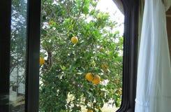全时RV生活-提供援助卧室窗口并且采摘一个桔子早餐 免版税库存图片