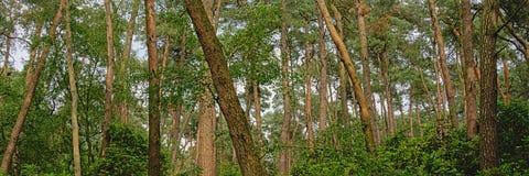 全景云杉的森林细节在富兰德 免版税库存图片