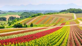 全景五颜六色的花田在夏天,北海道日本 库存照片