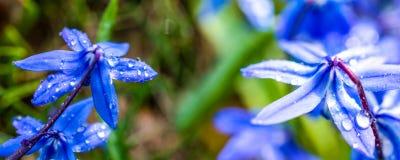 全景开花与露水的宏观Scilla Siberica蓝色在绿色bokeh背景 免版税库存照片
