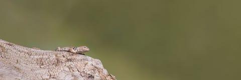 全景抓住衣领口的蜥蜴 免版税图库摄影