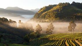 全景有薄雾的早晨日出在草莓庭院里 免版税库存照片