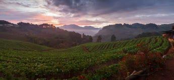 全景有薄雾的早晨日出在doi angkh的草莓庭院里 免版税库存图片