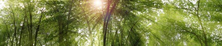 全景森林森林和 免版税库存照片