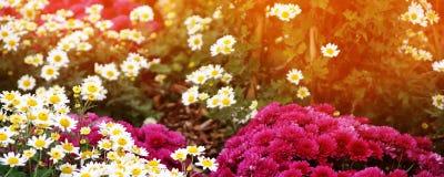 全景水平的墙纸或网横幅 春黄菊和菊花领域,选择聚焦 免版税库存照片
