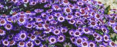 全景水平的墙纸或网横幅 蓝色开花春黄菊领域,选择聚焦 免版税库存图片
