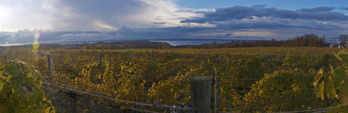 全景秋天的葡萄园 免版税库存图片