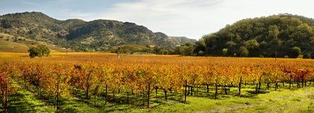 全景秋天的葡萄园 库存照片