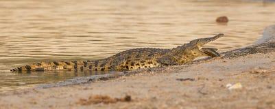 全景非洲鳄鱼用在嘴的鲶鱼 库存照片
