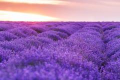 全景领域淡紫色夏天 浅深度的域 免版税库存图片