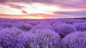 全景领域淡紫色夏天 浅深度的域 免版税库存照片