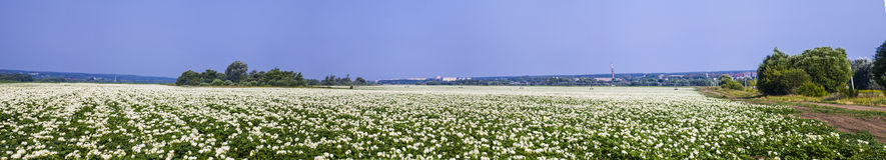 全景 开花的土豆在一个晴朗的夏日调遣 库存照片