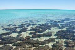 全景Stromatolites鲨鱼湾西澳州 库存图片