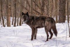 全视图一个寒带草原狼身分在多雪的森林里 免版税图库摄影