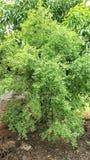 全视图印度檀香木树-檀香属册页五岁小孩 免版税库存照片