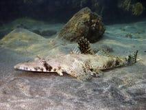 全视图的crocodilefish 免版税图库摄影
