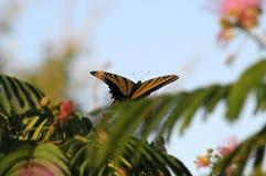 全视图Swallowtail蝴蝶哺养 免版税库存图片