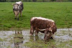全身湿透和浸泡的牛在浸满水领域站立了 库存图片