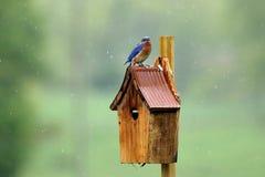 全身湿透的蓝鸫 库存照片