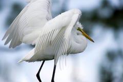 全身羽毛白色 免版税图库摄影