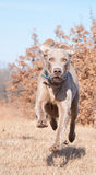 全速运行Weimaraner的狗 免版税库存照片