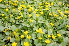 全部一点黄色春天花 免版税库存图片