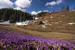 全部在一个雪草甸在春天和补丁的番红花  免版税库存图片