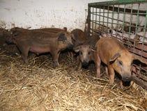 全部在生物动物农场的新出生的小猪 库存图片