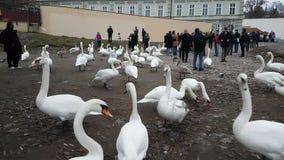 全部天鹅和鸭子在河伏尔塔瓦河 股票视频