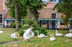 全部天鹅在布鲁日的历史的中心,贝耳基于草 免版税库存照片