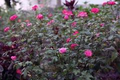 全部开花的玫瑰在庭院里 免版税库存照片
