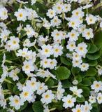 全部白色春天共同的报春花樱草属特写镜头  库存照片