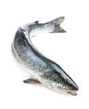 全部的三文鱼 免版税库存图片