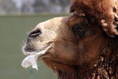 全部的骆驼 免版税库存照片