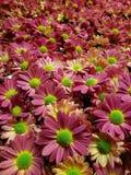 全部紫色雏菊花在春季、背景和纹理的s庭院里 免版税库存图片