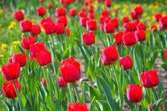 全部红色郁金香在春天阳光 免版税库存照片