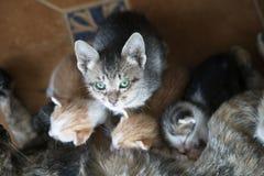 全部赌注哺养从母亲乳房的小猫 库存照片