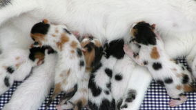 全部赌注哺养从母亲乳房的小猫 影视素材